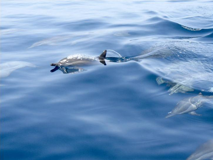 Dolphins off the coast of Eritrea