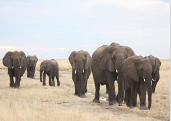 Elephants_roaming_the_plains_Gashbarka