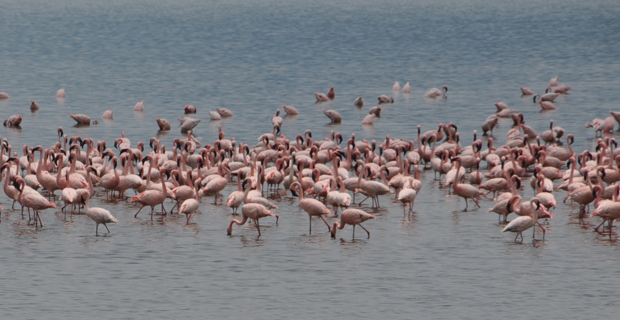 Flamingos off the coast off Massawa1
