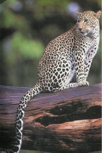 Leopard, Filfil Forest