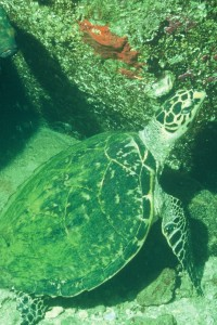Sea turtle, Dahlak Islands, Eritrea (Explore Eritrea)