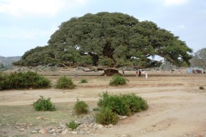 Sycamore tree in Segeneiti  immortalized in 5 note Eritrean Nakfa